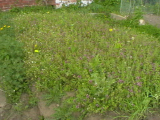 Walled Garden - before (7)