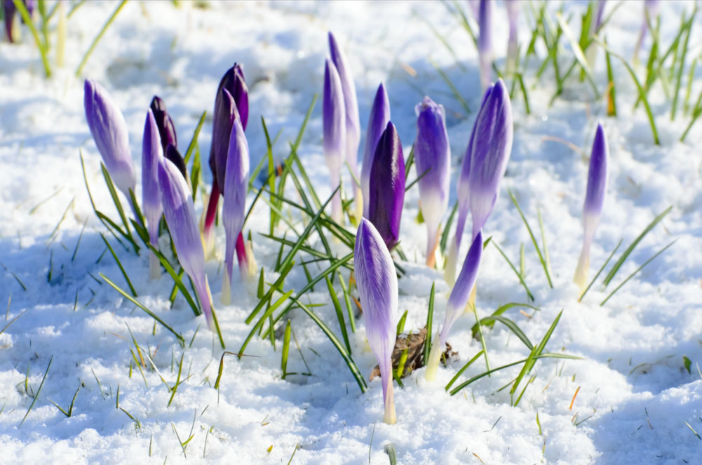 Purple crocus flowers peeking out of crisp white snow